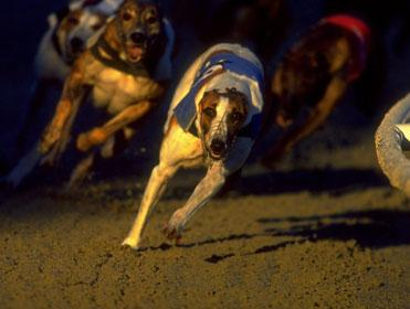greyhounds-racing-free-bet